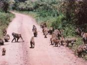 English: A troop of baboons on a road in Tanzania, 2001.