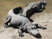 Two American Alligators (Alligator mississippiensis), Florida, USA