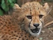 English: A close-up view of a Cheetah Acinonyx jubatus cub. Français : Portrait d'un petit Guépard (Acinonyx jubatus)