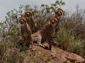 English: Four cheetahs at the Serengeti National Park.