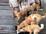 Borneo dogs (a.k.a. Iban hunting dogs and more...) feeding