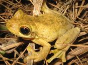 English: Tyler's Tree Frog (Litoria tyleri)