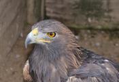 English: Golden Eagle (Aquila chrysaetos) in the falconry Falkenhof Feldberg, Germany. Deutsch: Steinadler (Aquila chrysaetos) im Falkenhof Feldberg.