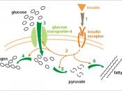 Effect of insulin on glucose uptake and metabolism. Insulin binds to its receptor (1) which in turn starts many protein activation cascades (2). These include: translocation of Glut-4 transporter to the plasma membrane and influx of glucose (3), glycogen