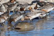English: Red Knot feeding on eggs of Horseshoe crabs. Mispillion Harbor, Delaware