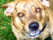 My dog, Mocha, in a picture taken and cropped by myself. Mocha is almost a Pit Bull, but we think she has a bit of Labrador Retriever or some other kind of Hound in her.