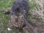 English: Feral cat caught in a snare.
