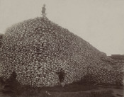 English: Photograph from the mid-1870s of a pile of American bison skulls waiting to be ground for fertilizer.