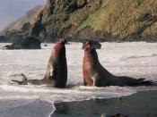 English: Bull elephant seals fighting over a harem of females
