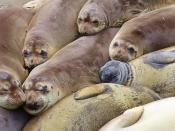 English: Elephant seal colony