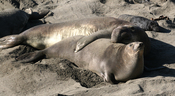 Male, female and pup Northern Elephant Seals.