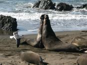 Males Northern Elephant Seals,Mirounga angustirostris ,California