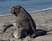 Mating scene with elevated Alpha Male. Elephant Seals of Piedras Blancas, San Simeon, CA, 31 Jan 2009.