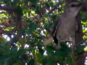 Mocking Bird (Obnoxious Evil Pest).