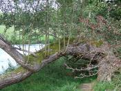 English: Willow and Thorn by the Teifi, Ceredigion