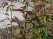 English: Personal photo new rose growth demonstrating juvenile anthocyanin