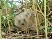 English: A hedgehog (Erinaceus europaeus)