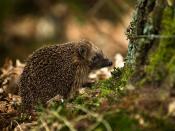 English: West European Hedgehog (Erinaceus europaeus). photographed in the Emmerdennen(wood), Emmen, Netherlands. Français : Un Hérisson européen (Erinaceus europaeus). Photo prise dans la forêt d'Emmerdennen(wood), près d'Emmen, aux Pays-Bas.