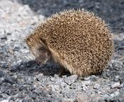 English: West European Hedgehog (Erinaceus europaeus). Suomi: Siili (Erinaceus europaeus).