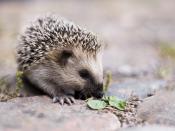 Young European hedgehog (Erinaceus europaeus). Français : Jeune Hérisson européen (Erinaceus europaeus).