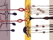 Axial organization of the retina