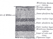 Section of retina. (Membrana limitans externa labeled at right, third from the bottom.)