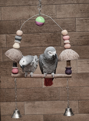 English: A pair of african grey parrots (Psittacus erithacus)