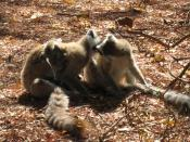 English: Social grooming by Ring-tailed Lemurs (Lemur catta) at Berenty in Madagascar