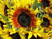 Sunflowers in Nova Scotia