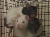 stacking of the rats