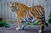 English: Captive Siberian tiger - Copenhagen Zoo, Denmark