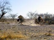 Male lions fight for the prey in the Etosha National Park