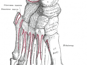 Bones of the right foot (dorsal surface).