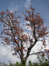English: Kaisu tree in Punjab Pakistan