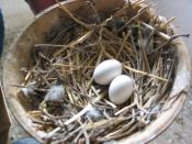 Eggs of the homing pigeon