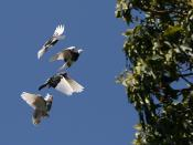 English: A flock of domestic Rock Pigeons (Columba livia f. domestica) in flight above Sydney about to pass a tree. Each pigeon is in a different phase of its stroke.