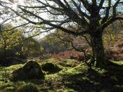 English: Oak and boulders, Green Combe This is 1581869 from the other direction, the sun shining through its branches, and illuminating the outline of the mossy boulders.