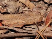 Goniaea sp. a type of gumleaf grasshopper (family Acrididae)
