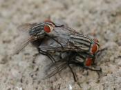 English: Two Sarcophaga carnaria, flesh flies flies were mating when a another male flies in and tries to take the position of the upper fly.