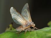 a male Pine Processionary moth (Thaumetopoea pityocampa)