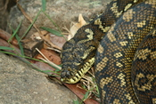 English: A carpet python, Morelia s. spilota, basking in the early morning sun on the bank of the Coomera River within Lamington National Park, Queensland, Australia