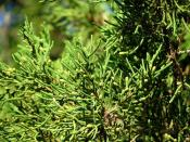 Bermuda Cedar with male cones