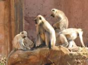 English: Monkeys in Jaipur, India. I don't know what kind.