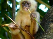 A young female of White-fronted Capuchi Monkey (Cebus albifrons).