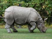 Indian Rhino (Rhinoceros unicornis) at the Metro Toronto Zoo.