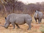 Two white rhinos in Namibia