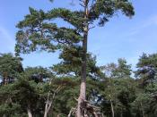 English: Pinus sylvestris tree with extensive soil erosion around roots, Netherlands.