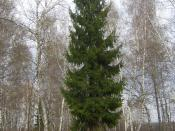 Picea abies, single tree. Russia, Ivanovo District, 56 32 N, 41 34 E.