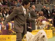 English: BIS BISS Ch. Gillian's Quintessential Quincy (born April 17, 2000), a male Komondor at the Working Group judging in the 2007 Westminster Kennel Club Dog Show.