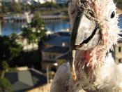 English: Sulphur-crested Cockatoo (Cacatua galerita) with psittacine beak and feather disease.